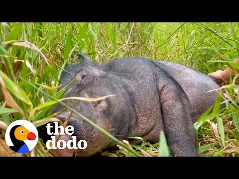 Wild Boar Who Couldn't Move For A Week Demands Belly Rubs Now | The Dodo Comeback Kids