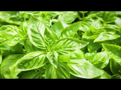 Studies Done on Basil  - Health Benefits of Basil - Basil Healthy Recipes