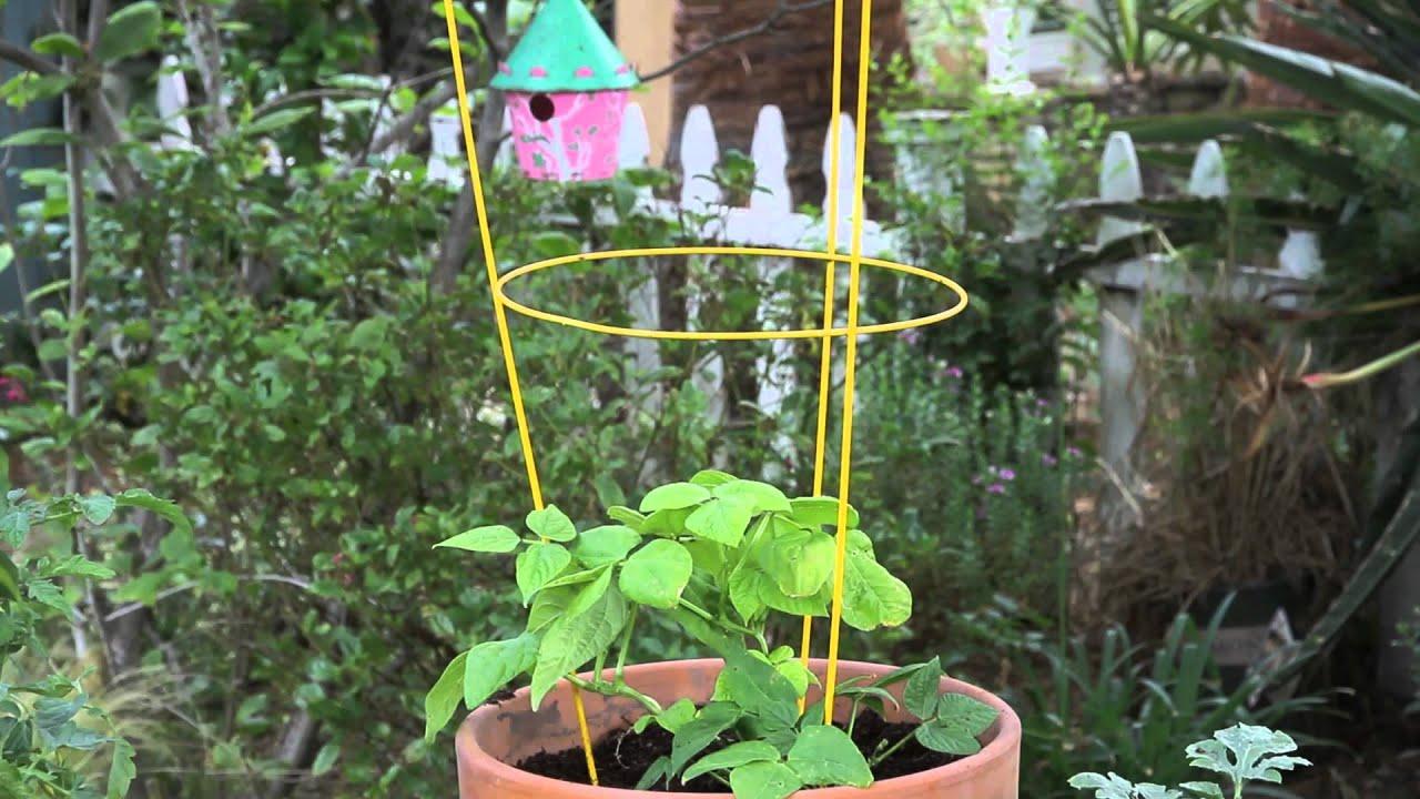 Container Cucumber Trellis Part - 23: How To Make A Tomato Cage Into A Pot Trellis : Garden Space - YouTube