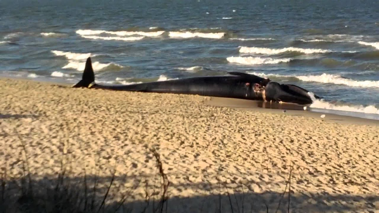 Whale Washed Up On Ocean View Beach