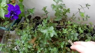 Огород на окне мята  мелисса из черенков укоренение веточек мяты