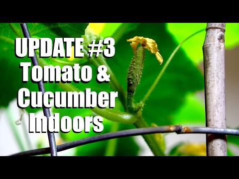 Growing Tomatoes and Cucumbers Indoors UPDATE #3: Hand Pollination  // Growing Your Indoor Garden #9