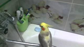 Как правально  купать попугая Корелла///;!