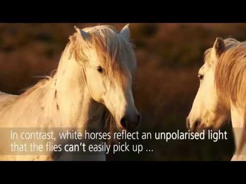 Why white horses aren't bothered by horse-flies