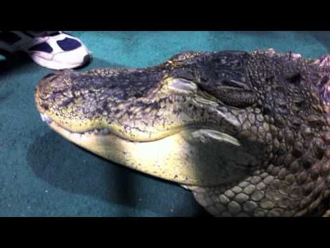 A tame Alligator - kids pet it! How can this be?