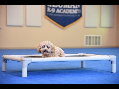 Finley (Miniature Poodle) Boot Camp Dog Training Video