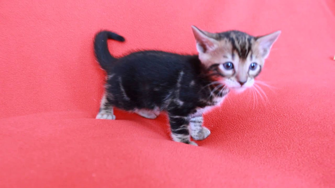 Bengalglitz GIZMO Brown Black Marble Bengal Kitten