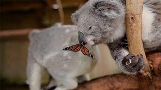 蝶々が留まったコアラ、とってもメルヘンな姿に