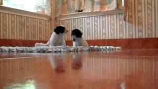Texas Poodle Puppies For Sale. Video- Www.dreamlinsaquapoodles.com