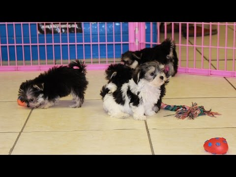 Morkie, Puppies, Dogs, For Sale, In Atlanta, Georgia, GA, Savannah, Sandy Springs, Roswell