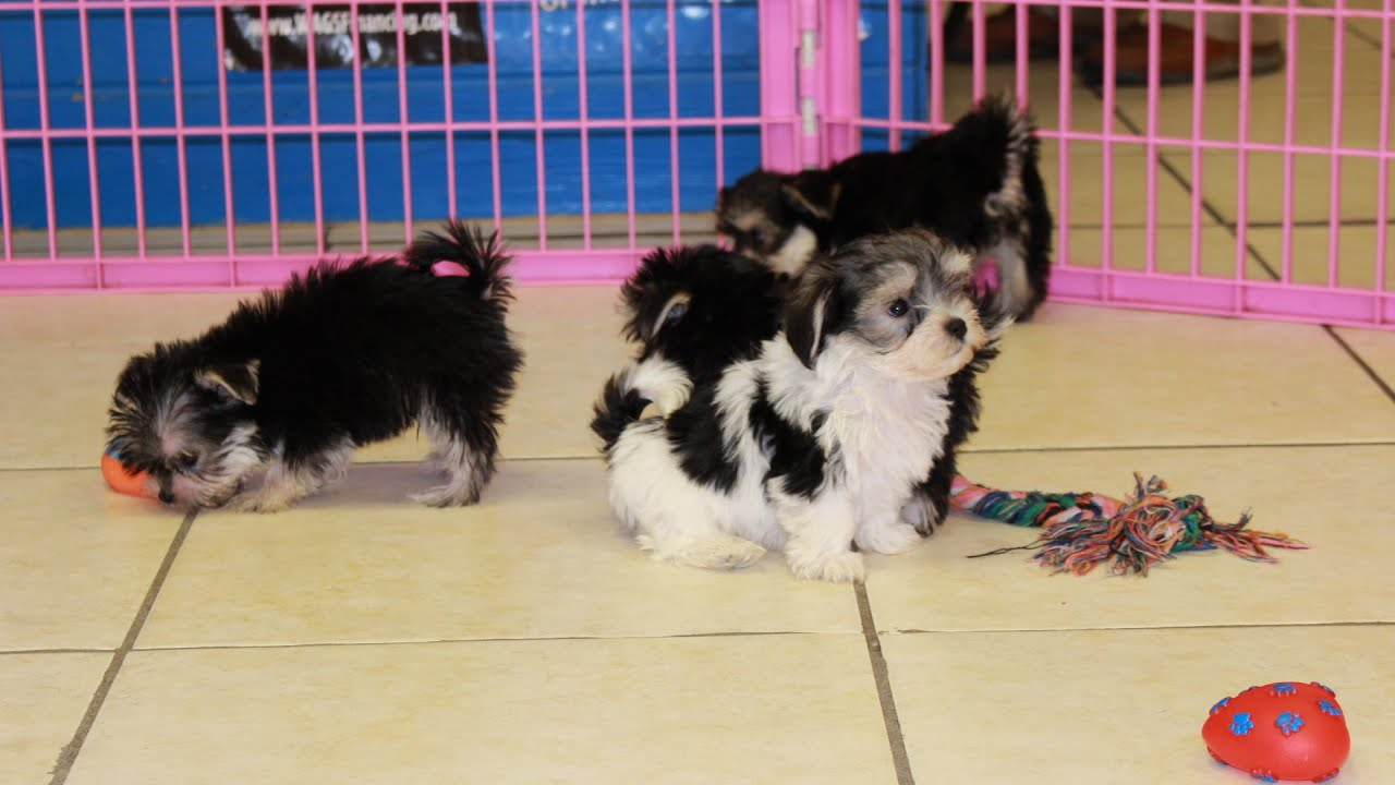 Morkie, Puppies, Dogs, For Sale, In Atlanta, Georgia, GA ...