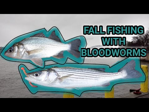 Striped Bass And White Perch On Bloodworms
