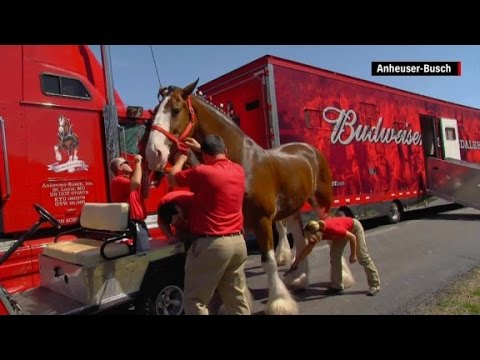 Steve Powers - Budweiser Clydesdales are enjoying the Mississippi Gulf Coast!