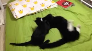 飼い猫2匹が、毎日こんな様子です。 白黒が先住(生後9ヶ月) 真っ黒が新...