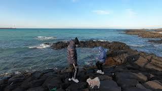 제주견 포메라니안 김포니 세화바다 산책