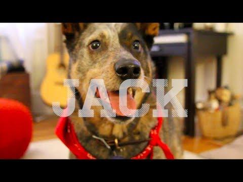 Jack the Australian Cattle Dog