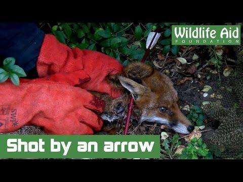 Fox Victim of Horrific Cruelty