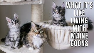 What It's Like Living with Maine Coons (Parts 13)