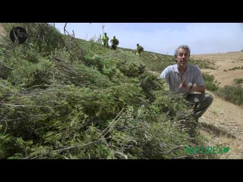 Rosemary Harvest in Morocco