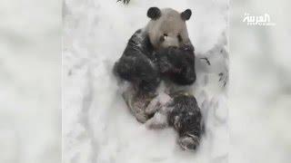 """فرحة حيوان الباندا """"تيان تيان"""" في العاصفة الثلجية"""