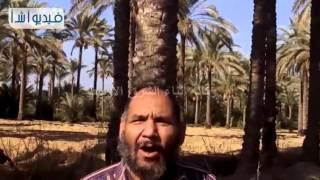 بالفيديو : سوسة النخيل الحمراء وباء يهدد مزارعي النخيل بدمياط