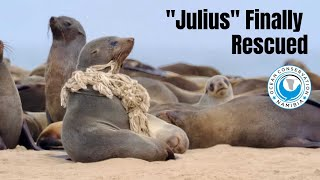 "Seal ""Julius"" FINALLY rescued!"