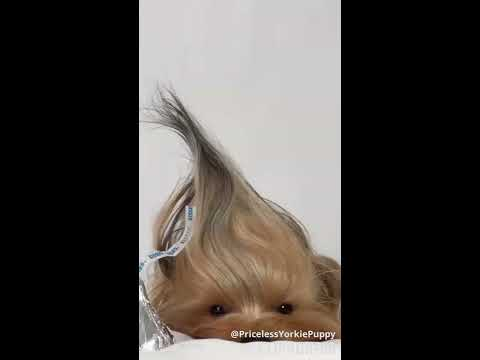 Tribute To Yorkies Having a Bad Hair Day