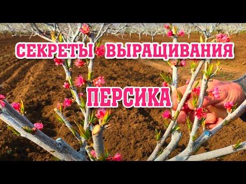 Секреты выращивания персика / Часть 1