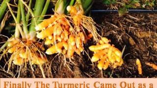 Pure & Fresh Turmeric Powder with 10.07% Curcumin From Bagdara Farm