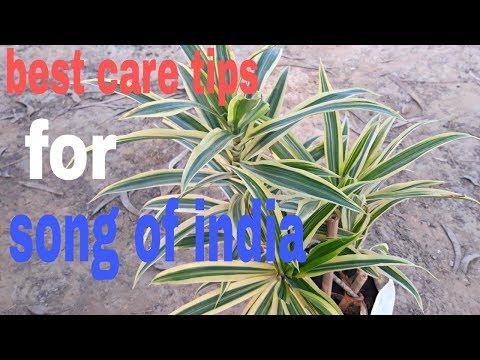Best care tips for Dracaena Reflexa: Song of India (Hindi)