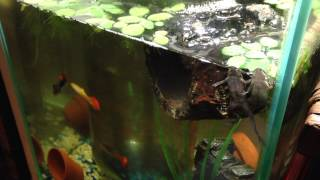 FLAT BELLY BUDDIES!! African Dwarf Frogs! Chillin! Thumbnail
