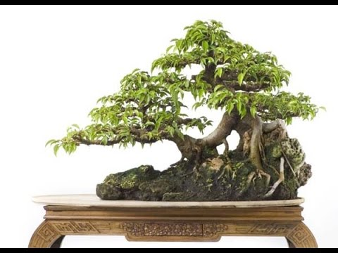 Ficus Benjamina Bonsai Tree Youtube