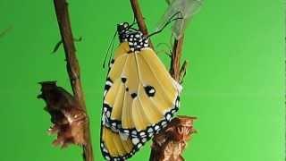 這隻美麗的樺斑蝶是一個很有天份的演員它很認真演出非常完美的生命樂章.