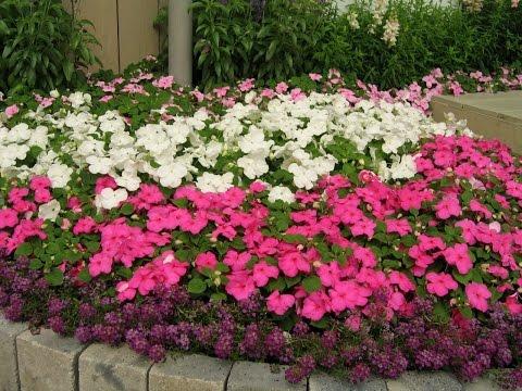 Бальзамин🌺Цветение🌺Осень.Impatiens in the fall.An annual plant.