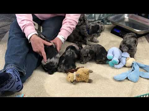 Shammy's schnoodle puppies all are SOLD December 4, 2019