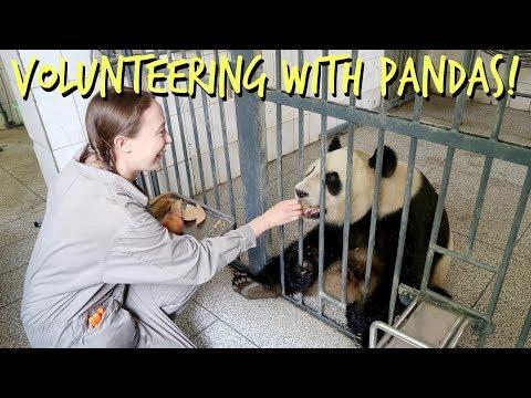 Volunteering With Pandas In China! | MirandaTheAdventurer