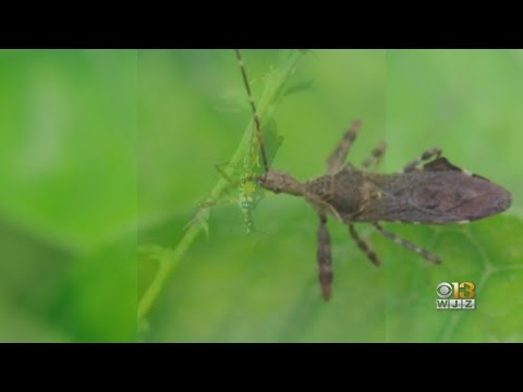 CDC Says 'Kissing Bugs' Are In Maryland Too