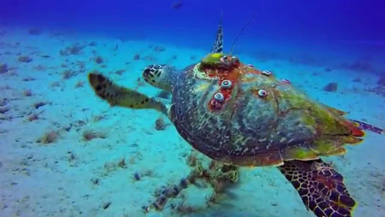 Sea Turtle Tracking In The Atlantic Underwater