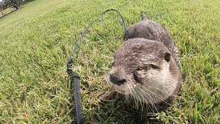 Nice day for swimming and walking [Otter life Day 123] 水浴びとお散歩日和