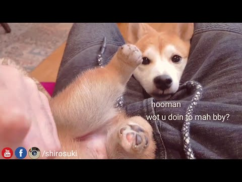 mom-is-worried-/-shiba-inu-puppies-(with-captions)