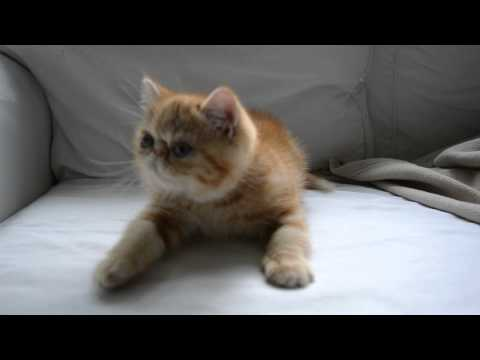 Exotic shorthair kitten growling when he gets feather toy.