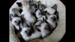 Adorable Siamese Kittens
