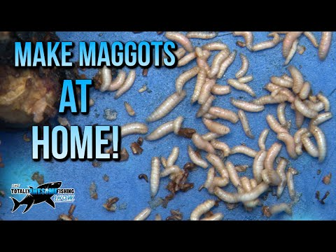 How to make Maggots at Home | TAFishing