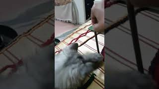 Persian kitty playing with pencil😘
