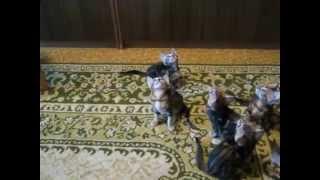 Бенгальские котята и дразнилка. www.lamparty.jimdo.com