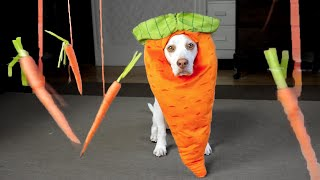 Carrot Dog vs. Floating Carrots: Cute Dog Maymo