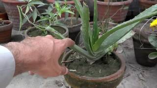 How To Take Care Of An Aloe Plant | Best Potting Soil For Aloe Vera (Urdu/Hindi)