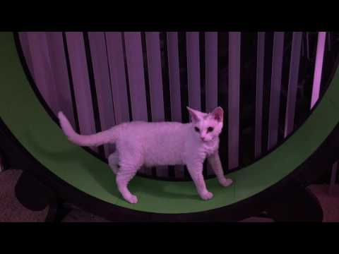 Odd-eyed Devon Rex first day with Cat Wheel - 4K