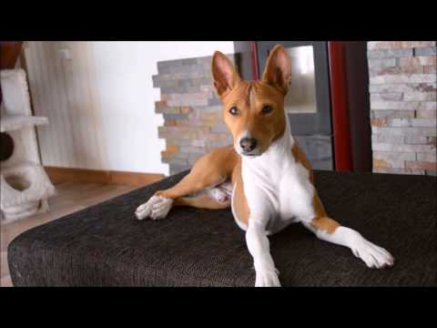 Deep conversation with a basenji