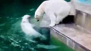 Новосибирский зоопарк - Веб-камера показывает белых медведей: мама Герда и дочь Шилка
